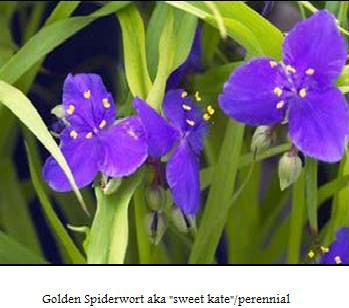 golden-spiderwort-flowers