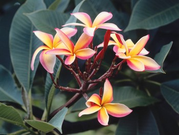 how-hawaiian-flowers